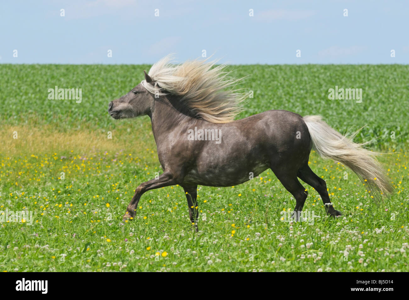 Silver dapple Shetland Pony galloping in a meadow - Stock Image