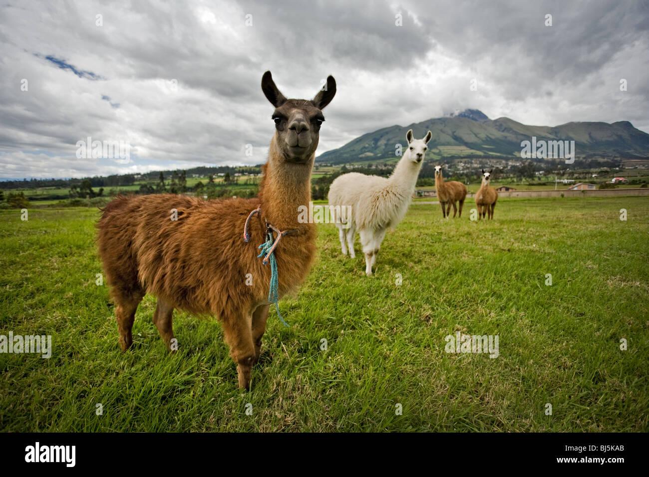 Curious llamas in the countryside of Ecuador, South America - Stock Image