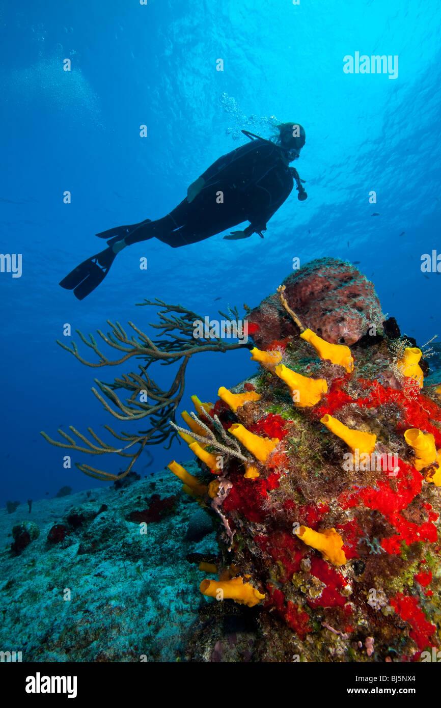 Scuba diver swims over top of small coralhead, underwater, Cozumel, Mexico - Stock Image