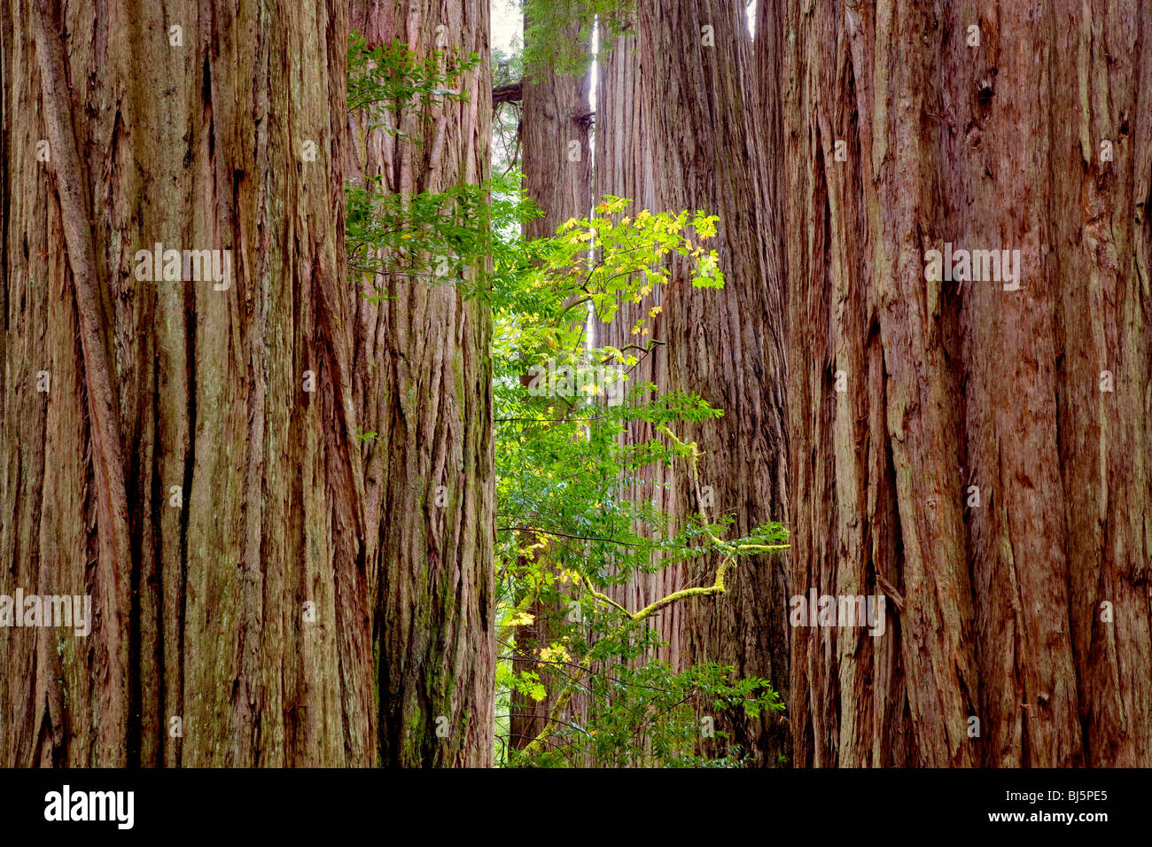 Redwoods and big leaf maple tree in fall color. Jedediah Smith Redwoods State Park, California - Stock Image