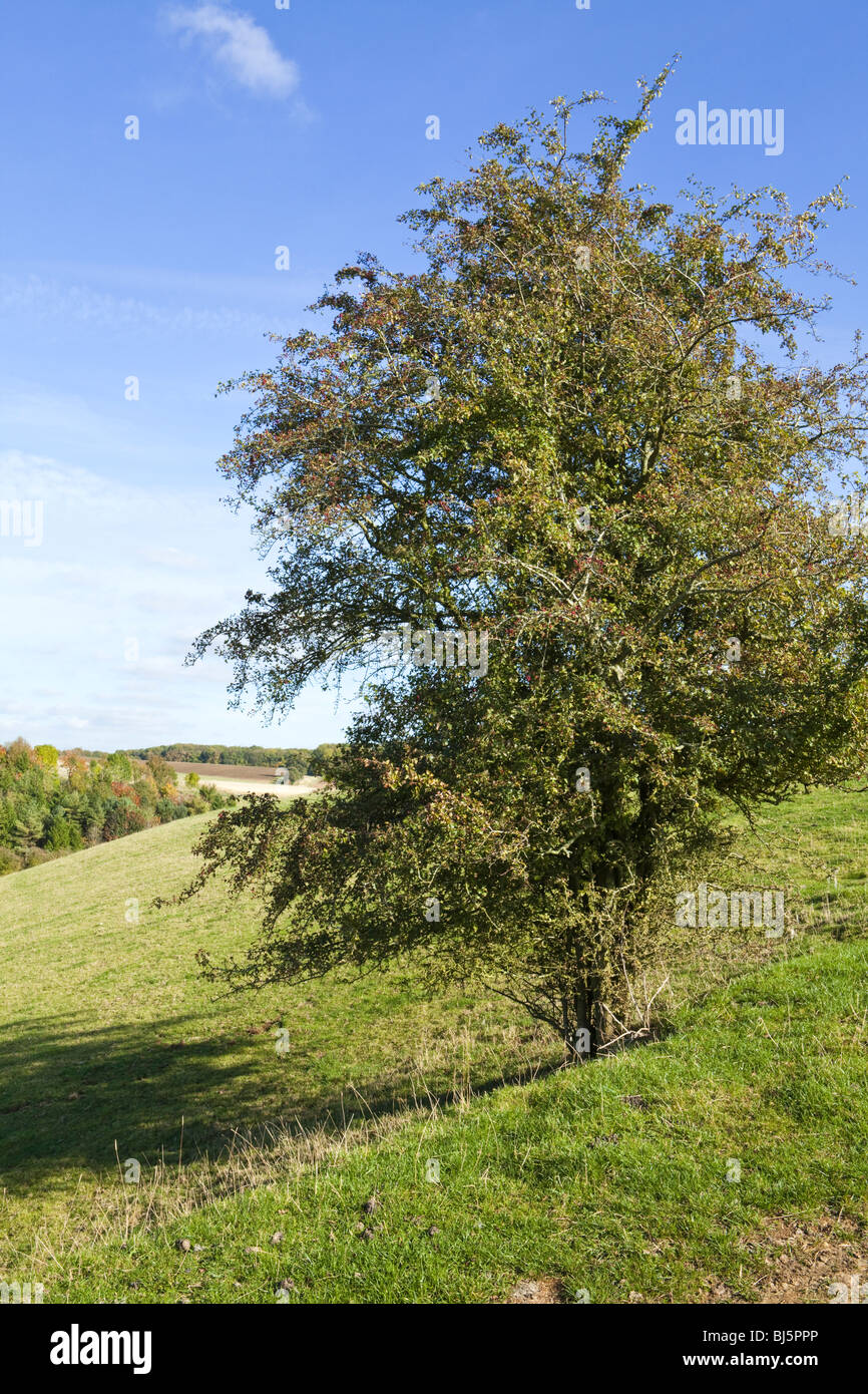 A hawthorn tree growing on the Cotswolds near Turkdean, Gloucestershire - Stock Image