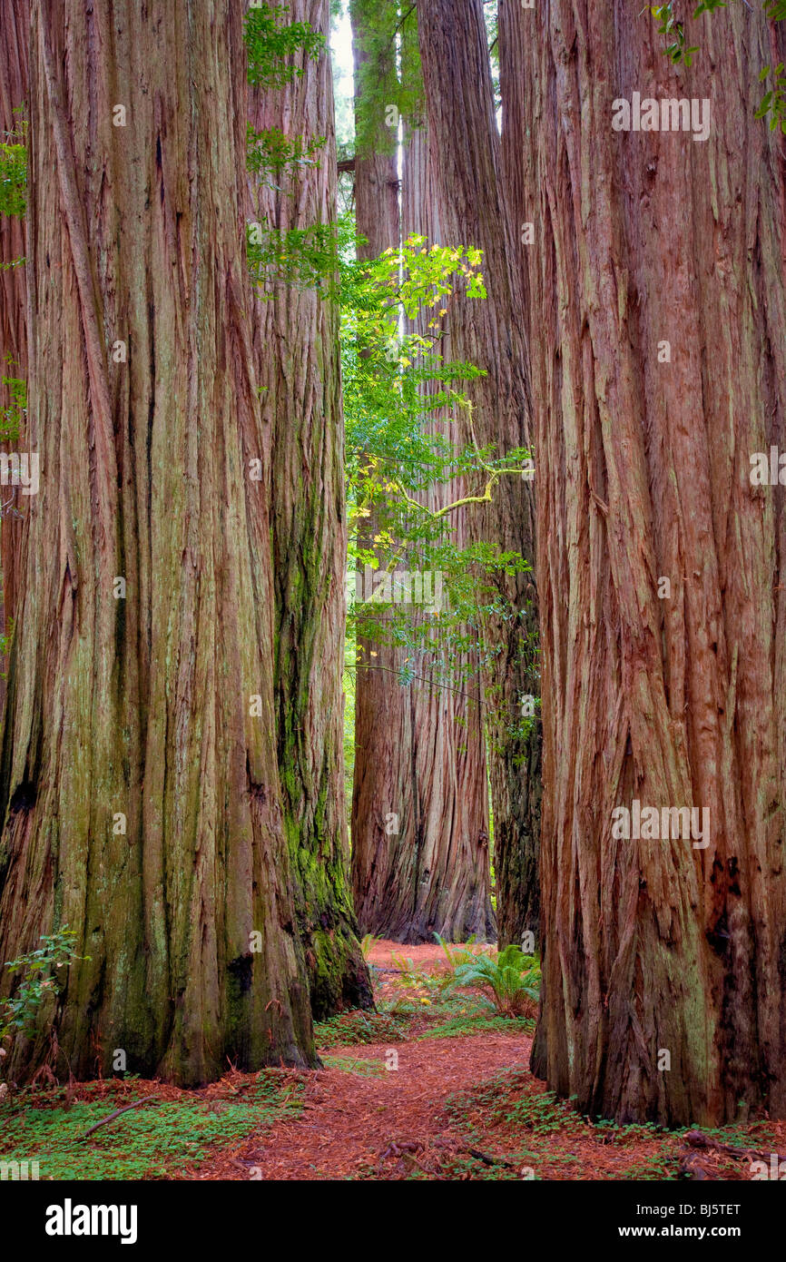 Redwoods with path and big leaf maple tree in fall color. Jedediah Smith Redwoods State Park, California Stock Photo