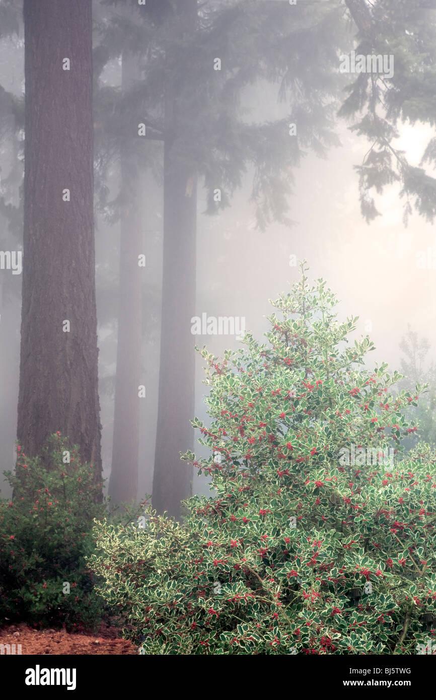 Holly bush with Douglas Fir trees in fog. Hoyt Arboretum. Portland, OR - Stock Image