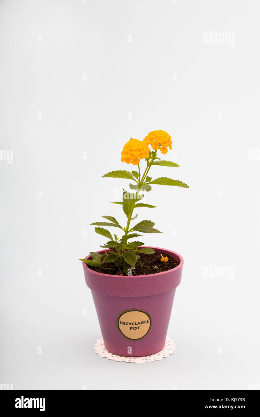Lantana camara in a recyclable flower pot - Stock Image
