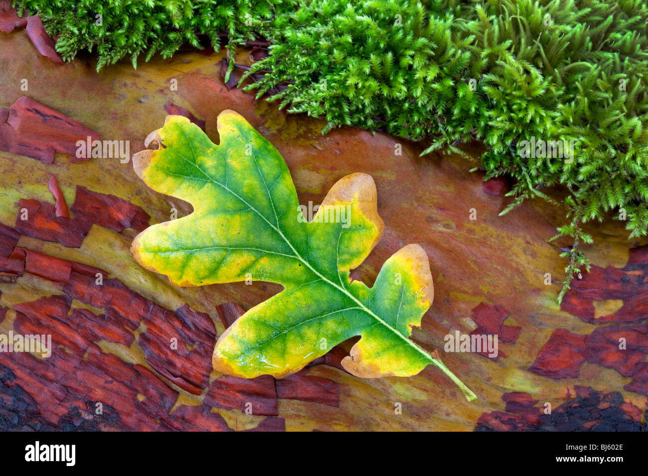 Oak leaf in fall color on madrone branch with moss. Siskiyou National Forest Stock Photo