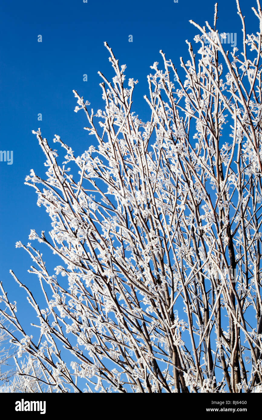Frosty Rowan tree branches ( Sorbus aucuparia )  against blue sky Stock Photo