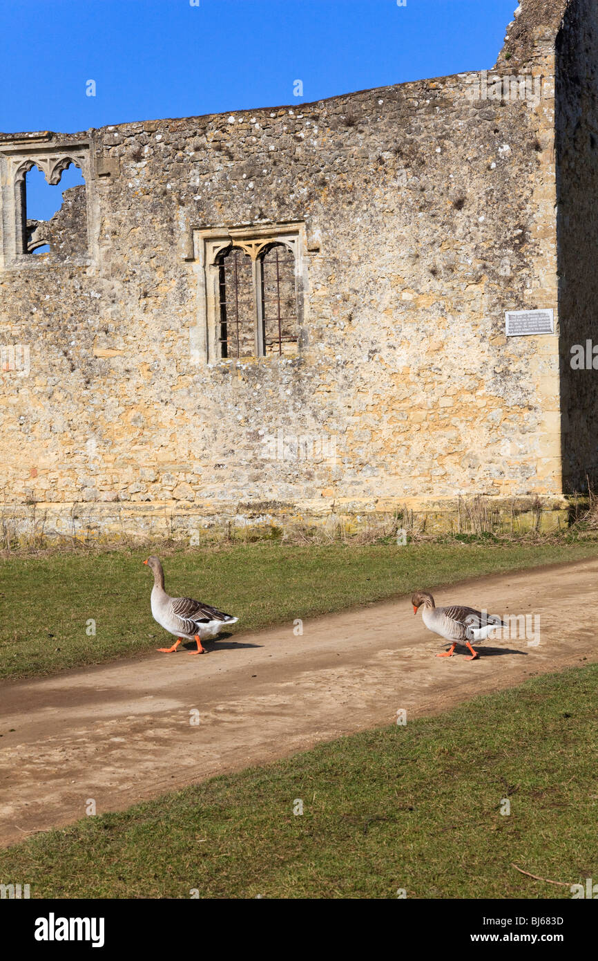 Two Canada Geese cross the Thames Path at Godstow, with the ruins of the Nunnery in the  Background, Oxford, Oxfordshire, - Stock Image