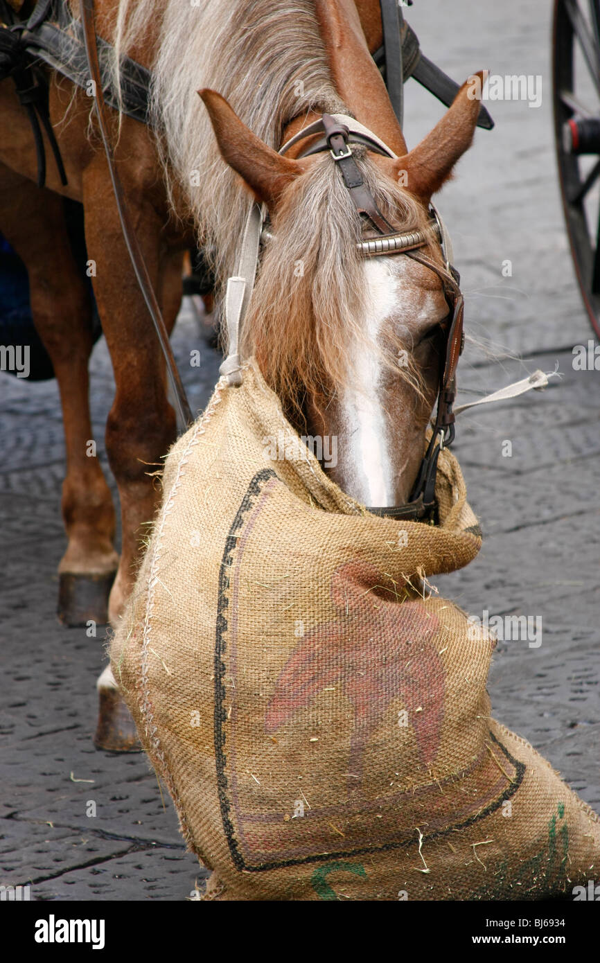 horse with sack of oat - Stock Image