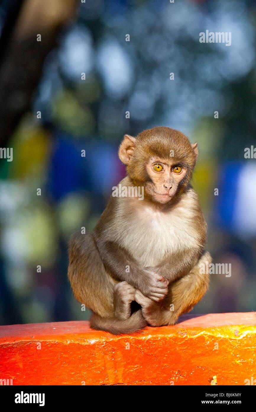 Macaques monkey in Darjeeling, India - Stock Image
