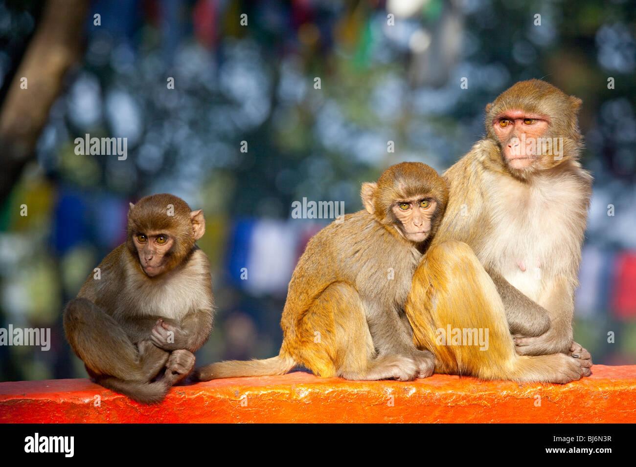 Macaques monkeys in Darjeeling, India - Stock Image
