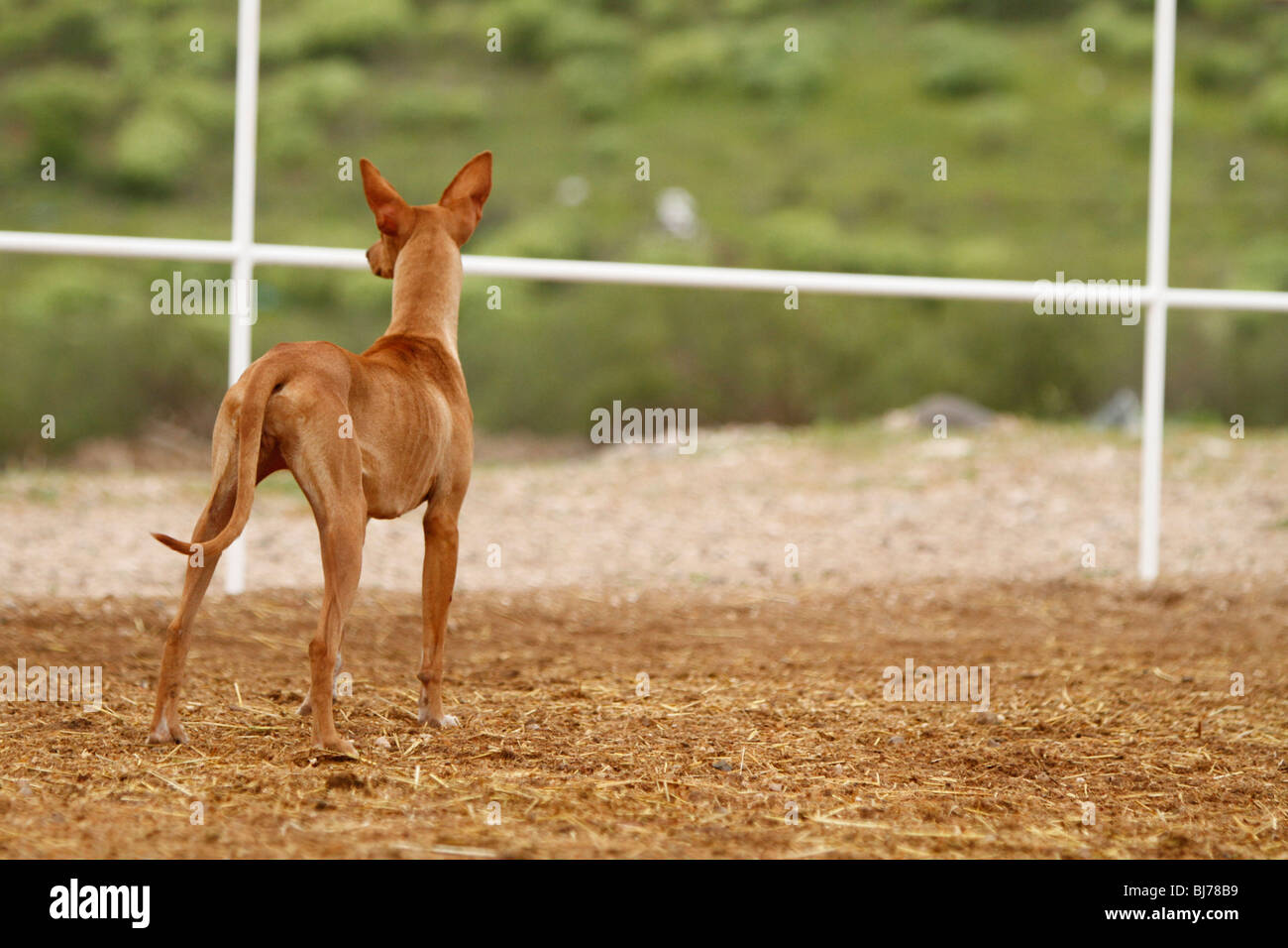 Very thin Brown dog with blurred background - Stock Image