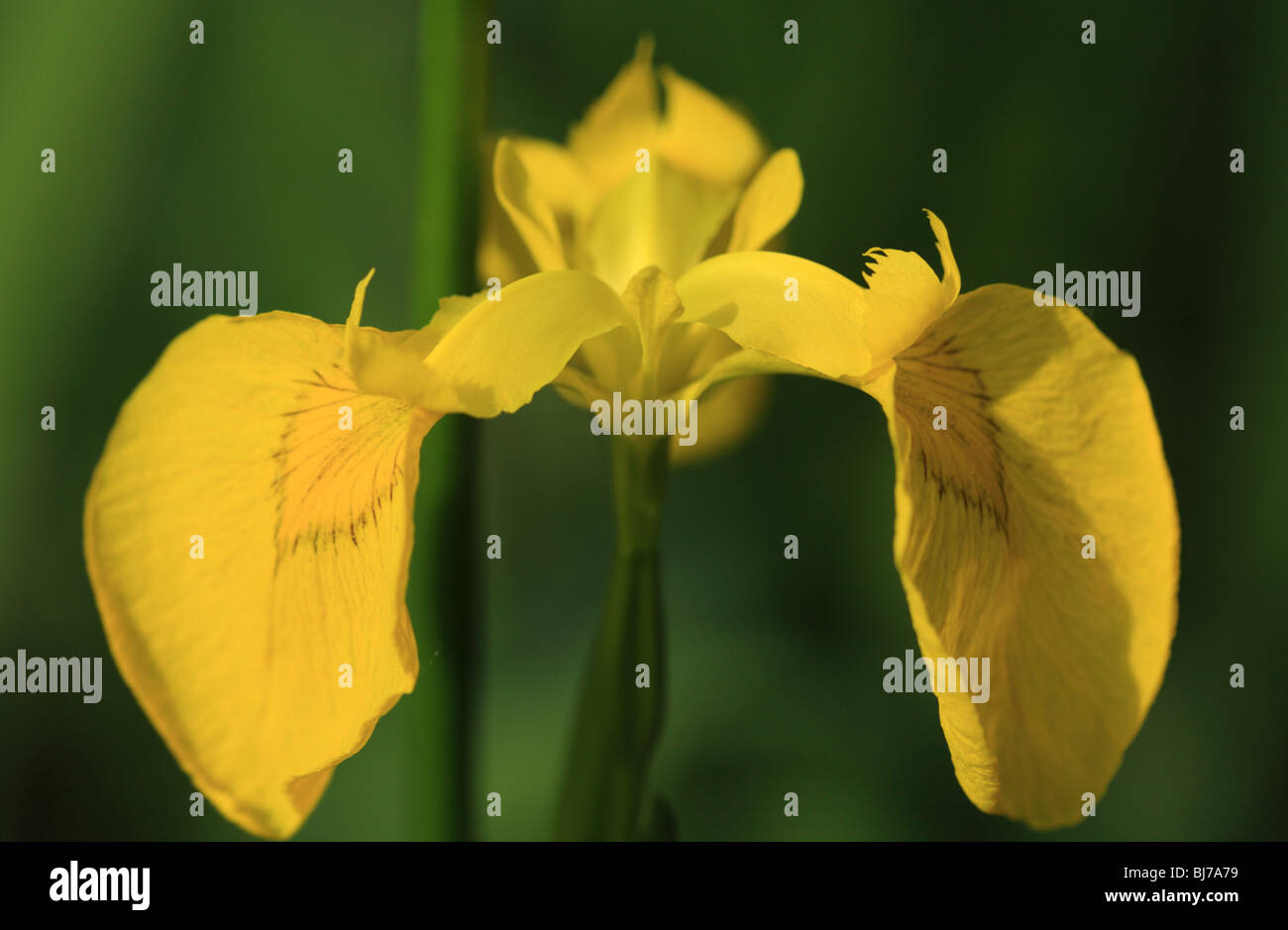 Close up of a yellow bearded iris - Stock Image