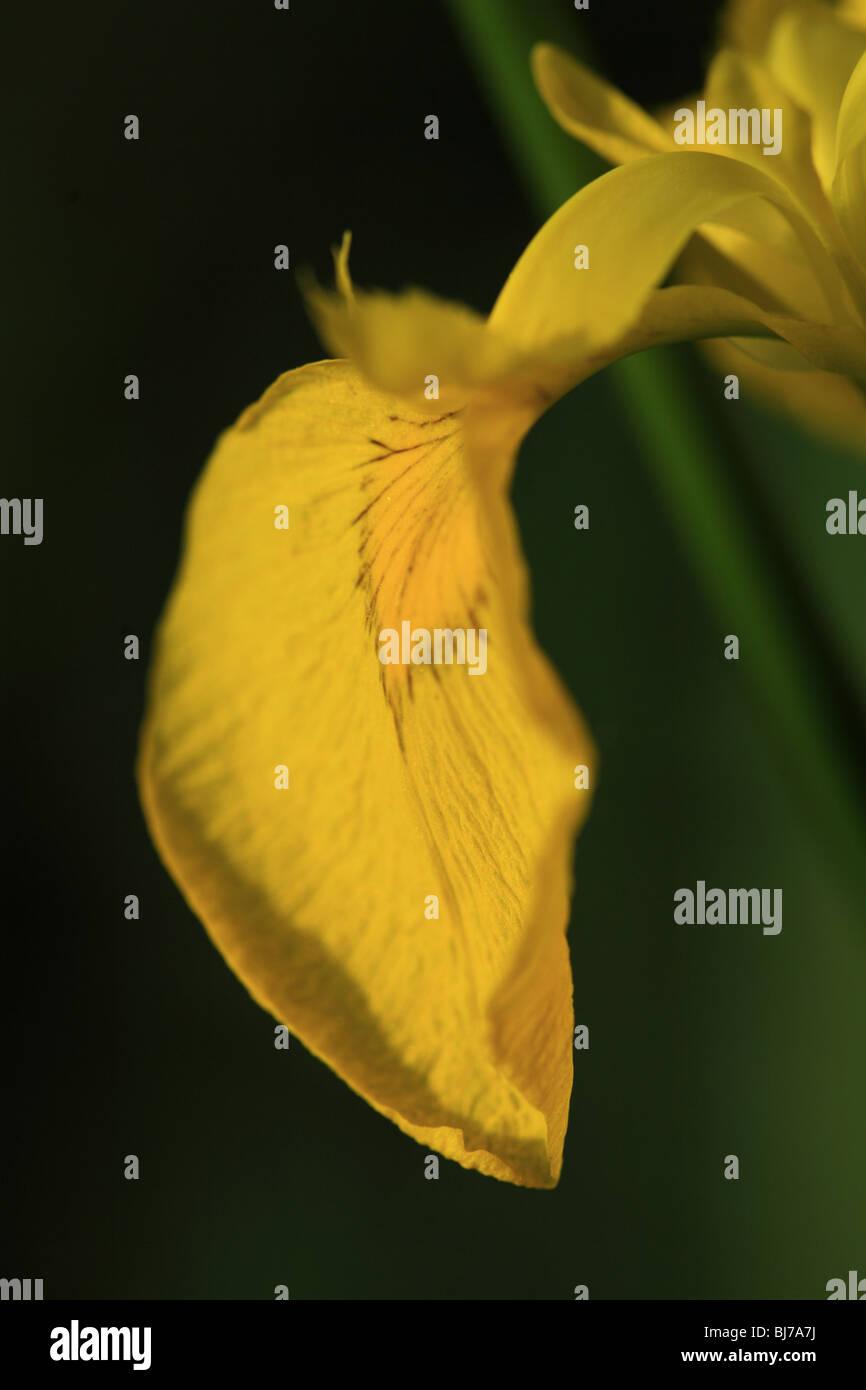 Close up of a single petal of a yellow bearded iris - Stock Image
