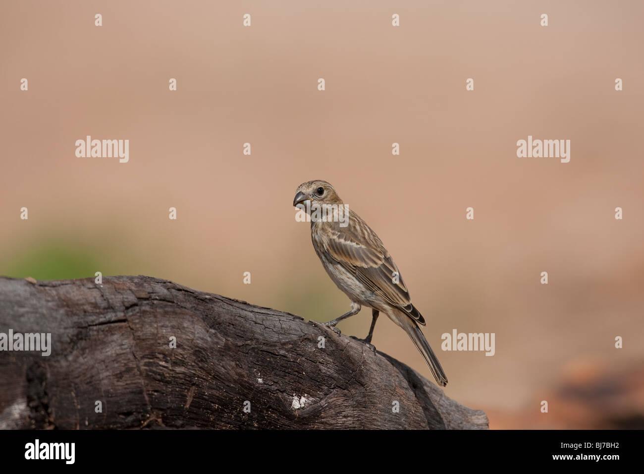 Lark Bunting (Calamospiza melanocorys), immature. - Stock Image