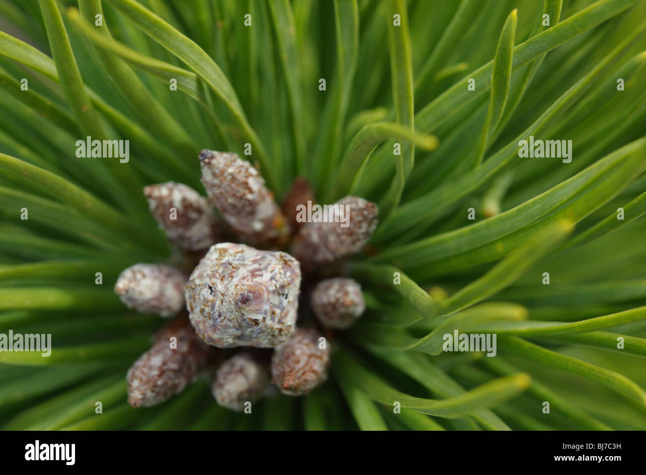 Tip of a pine twig, close-up - Stock Image