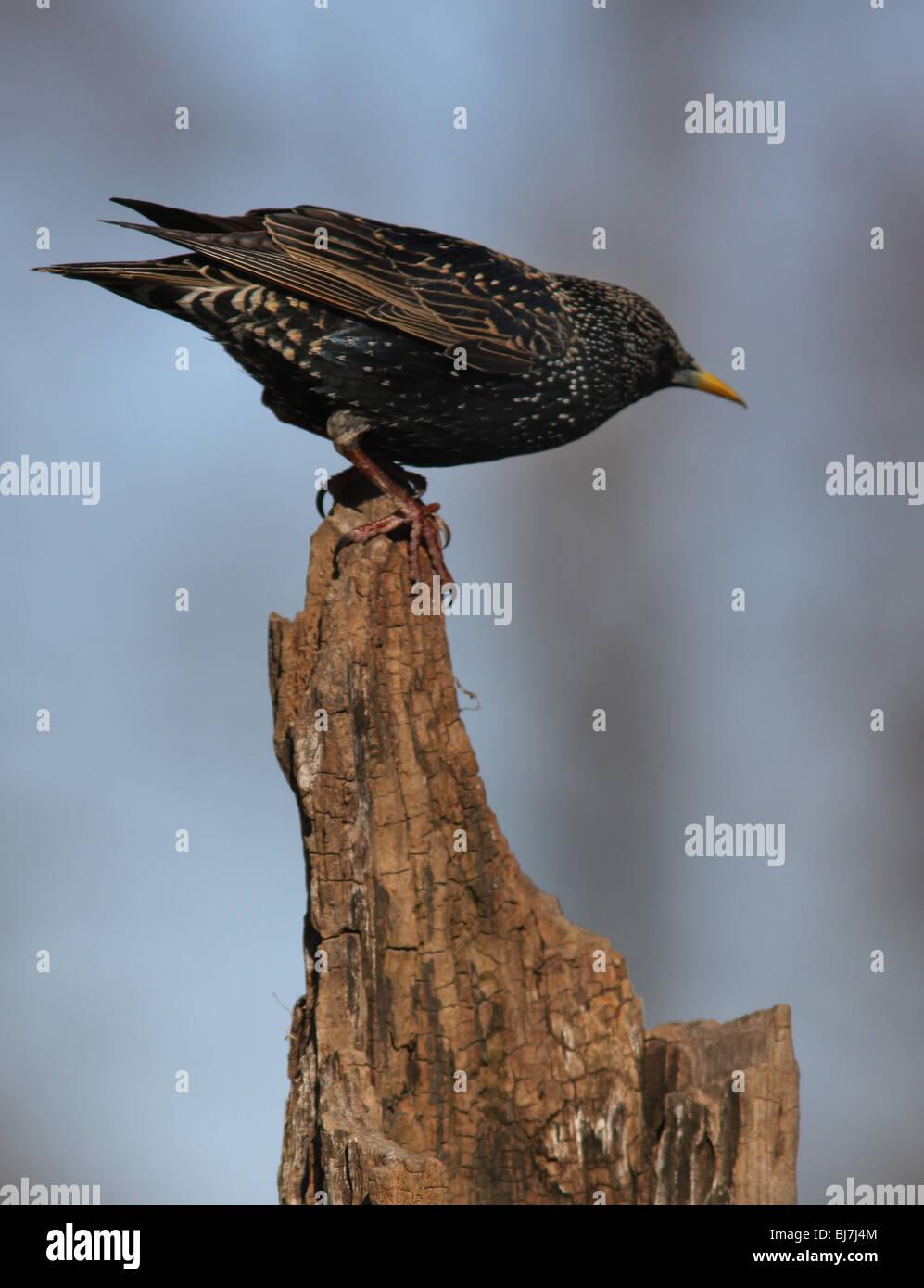 European starling feeder - Stock Image