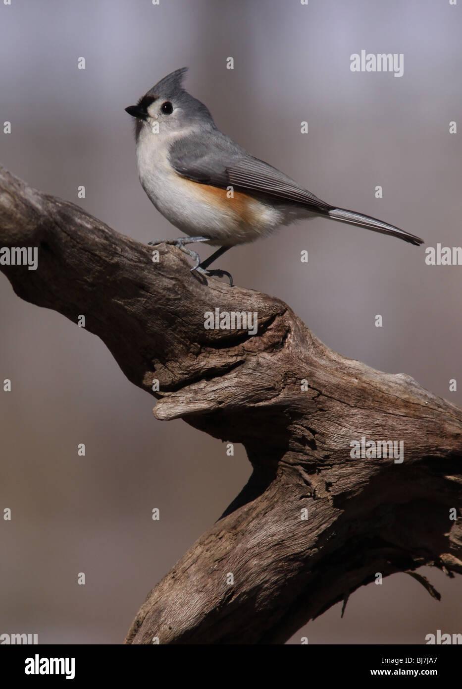 tufted titmouse feeder songbird ohio - Stock Image