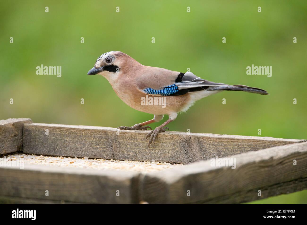 Jay bird Garrulus Glandarius in profile on a bird table in Yorkshire, England U.K. Stock Photo