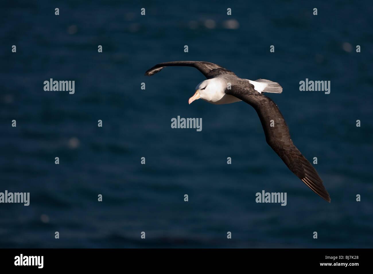 Black-browed Albatross Thalassarche melanophrys Schwarzbrauenalbatros Mollymawk Saunders Island Falkland Islands - Stock Image