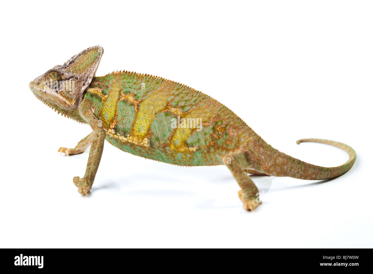 Beautiful big chameleon sitting on a white background - Stock Image