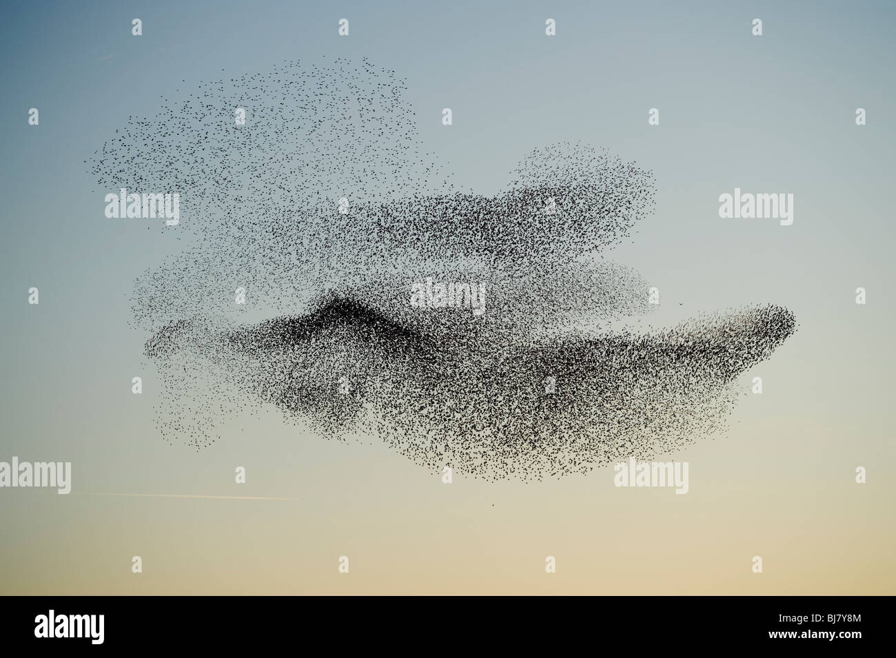 A flock of starlings (murmuration) flying at sunset, March evening, Wales UK - Stock Image