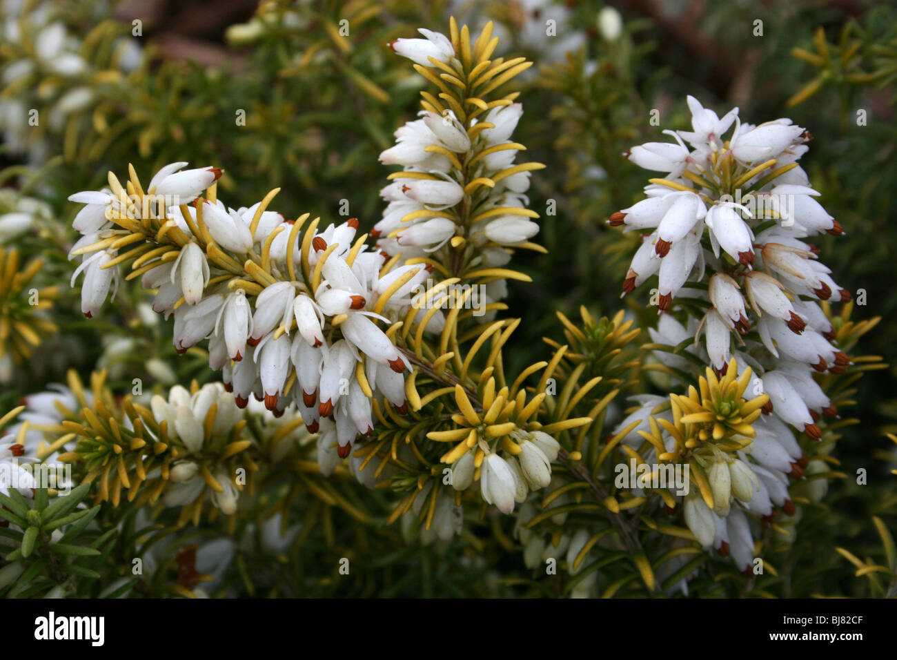Erica heather white flower garden stock photos erica heather white white heather erica carnea taken in hale village merseyside uk stock image mightylinksfo