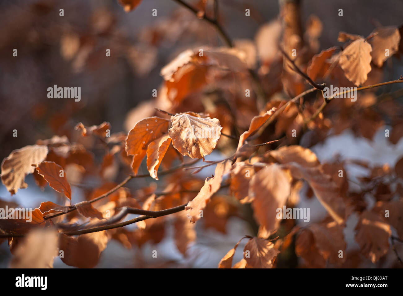 Withered leafs on a tree in wintertime. Shallow focus. - Stock Image