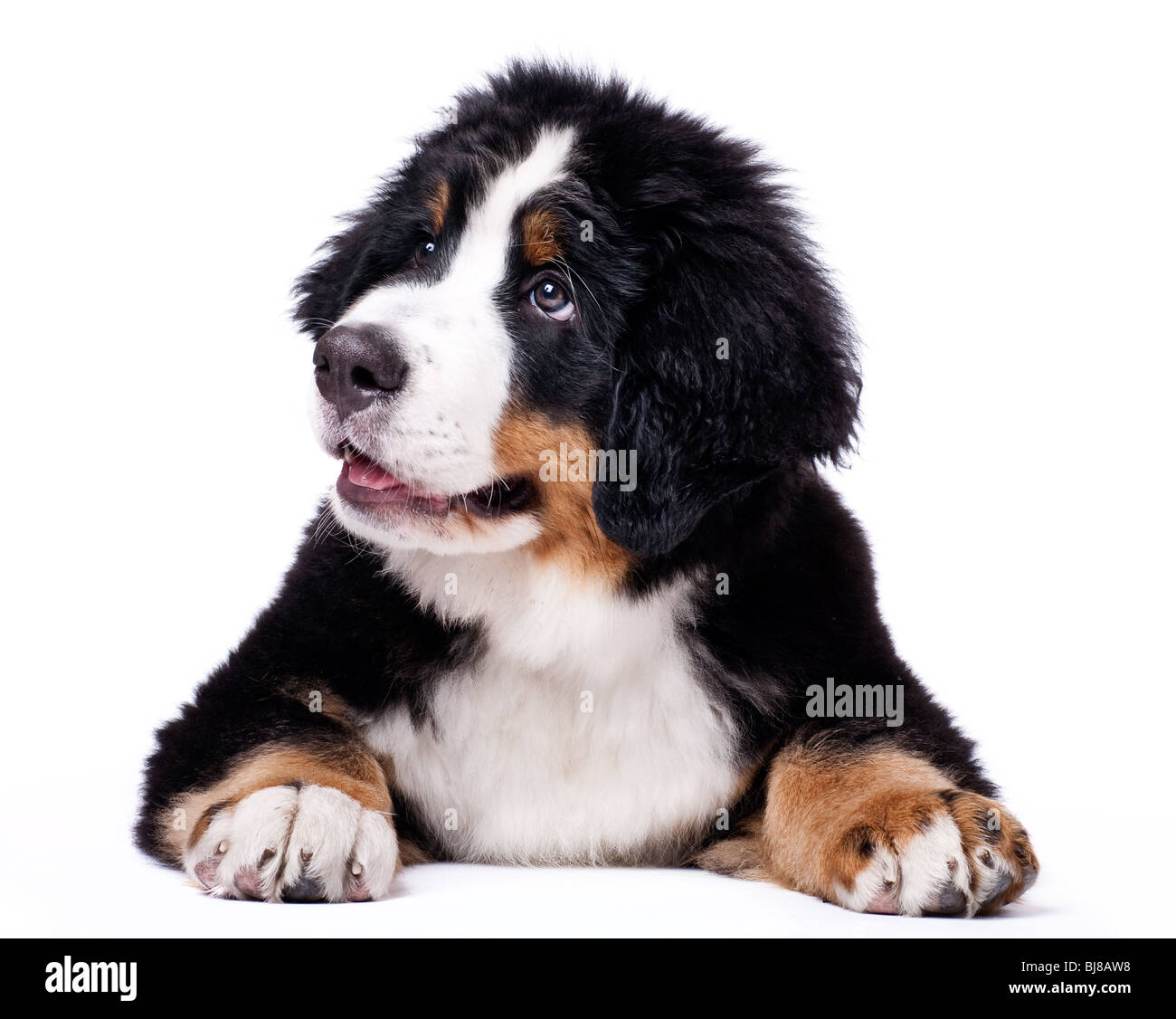 Young Bouvier Bernois or Berner Sennen, portraied on white background, chewing on a toy - Stock Image