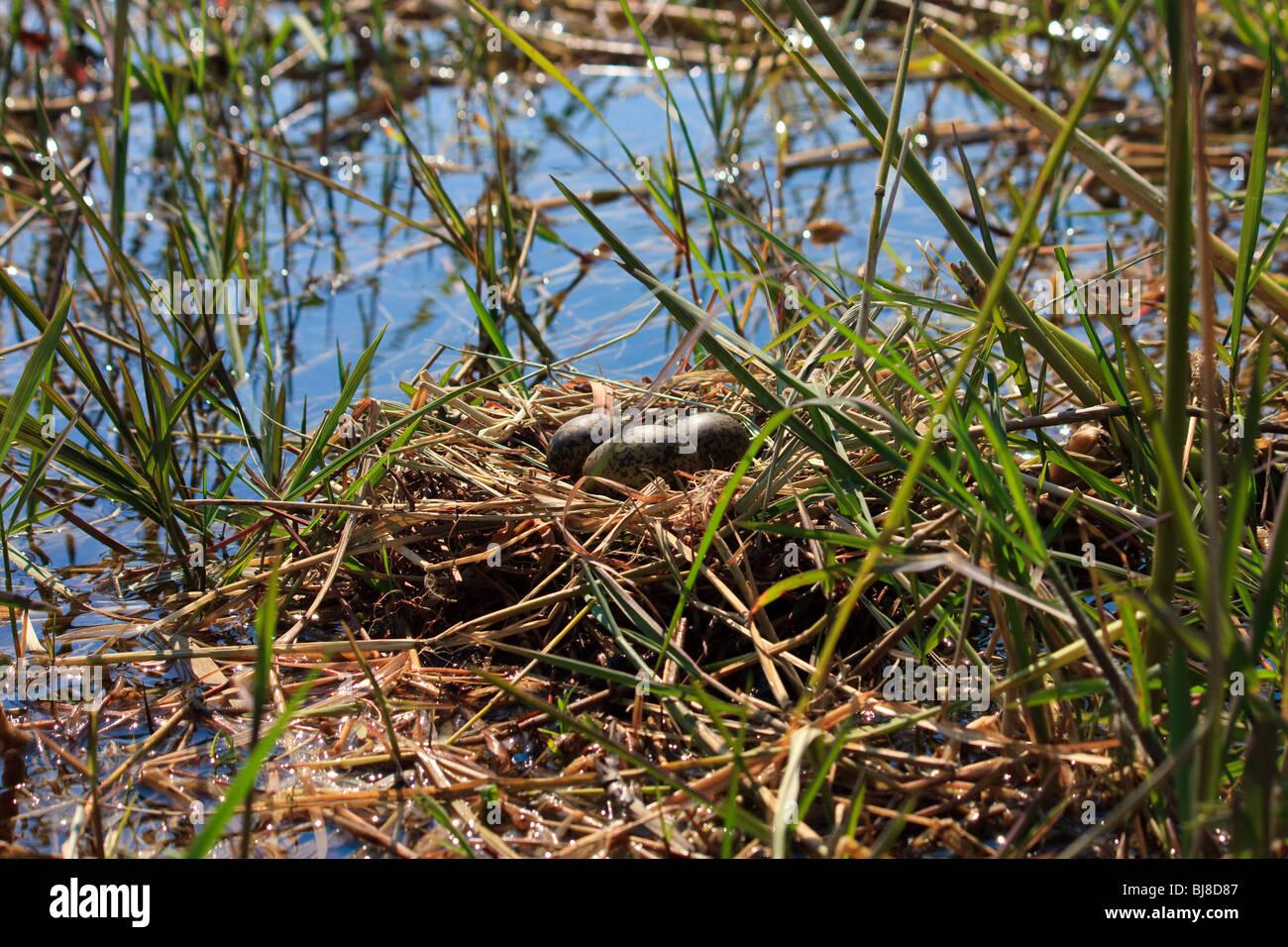 Africa Botswana Okavango Delta Plovers Egg Seronga - Stock Image