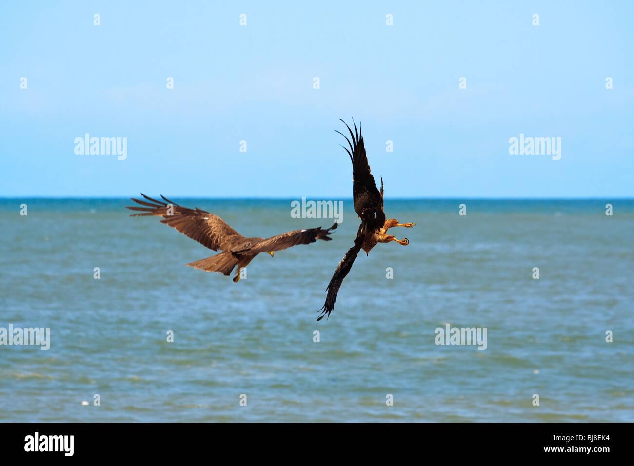 Africa Birds Black Kites Elmina Ghana Raptors - Stock Image