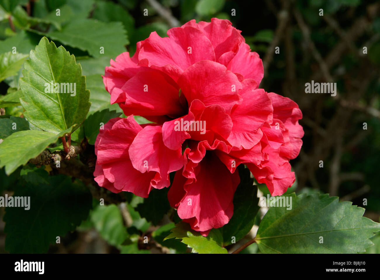 Kerala hibiscus flower stock photos kerala hibiscus flower stock very cute and variety red hibiscus flower found in keralaindiahibiscus flower is izmirmasajfo