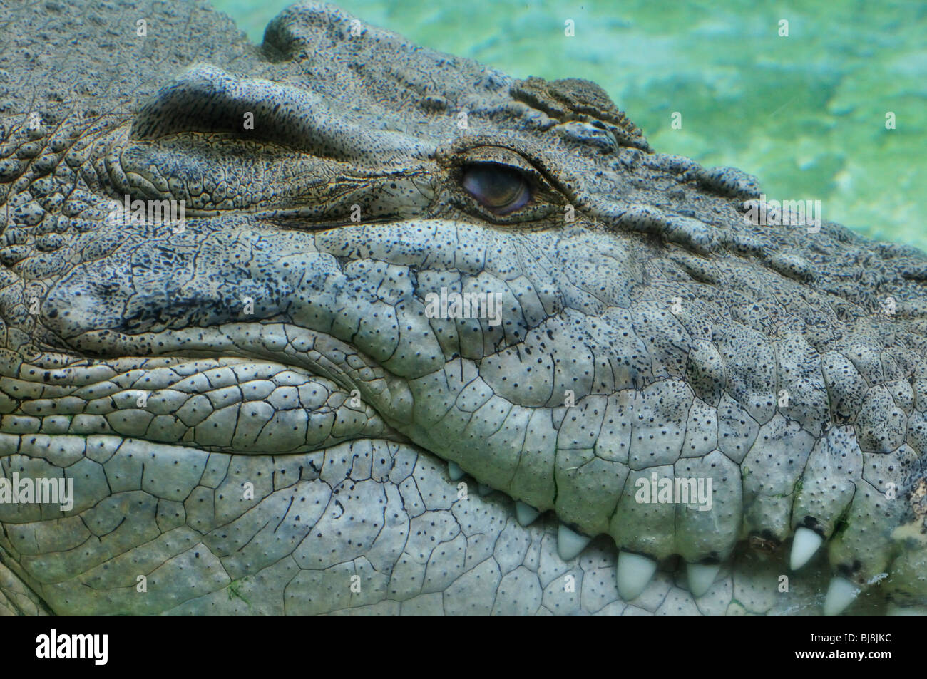Part of the head of a large saltwater crocodile (Crocodylus porosus) displayed at the Alligator Farm, St. Augustine, - Stock Image