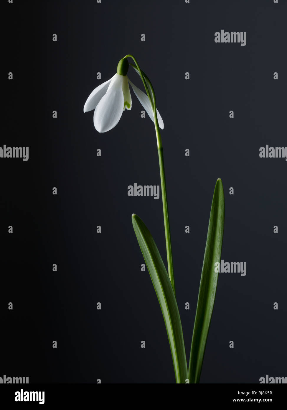snowdrop - Stock Image