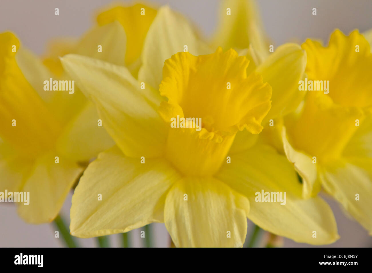 Spring Flowers Daffodils Vase Stock Photos Spring Flowers