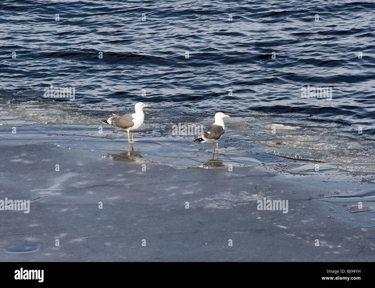 A Pair of Herring Gulls Standing on Ice at Loch Lomond Balloch Dumbartonshire Scotland United Kingdom UK - Stock Image