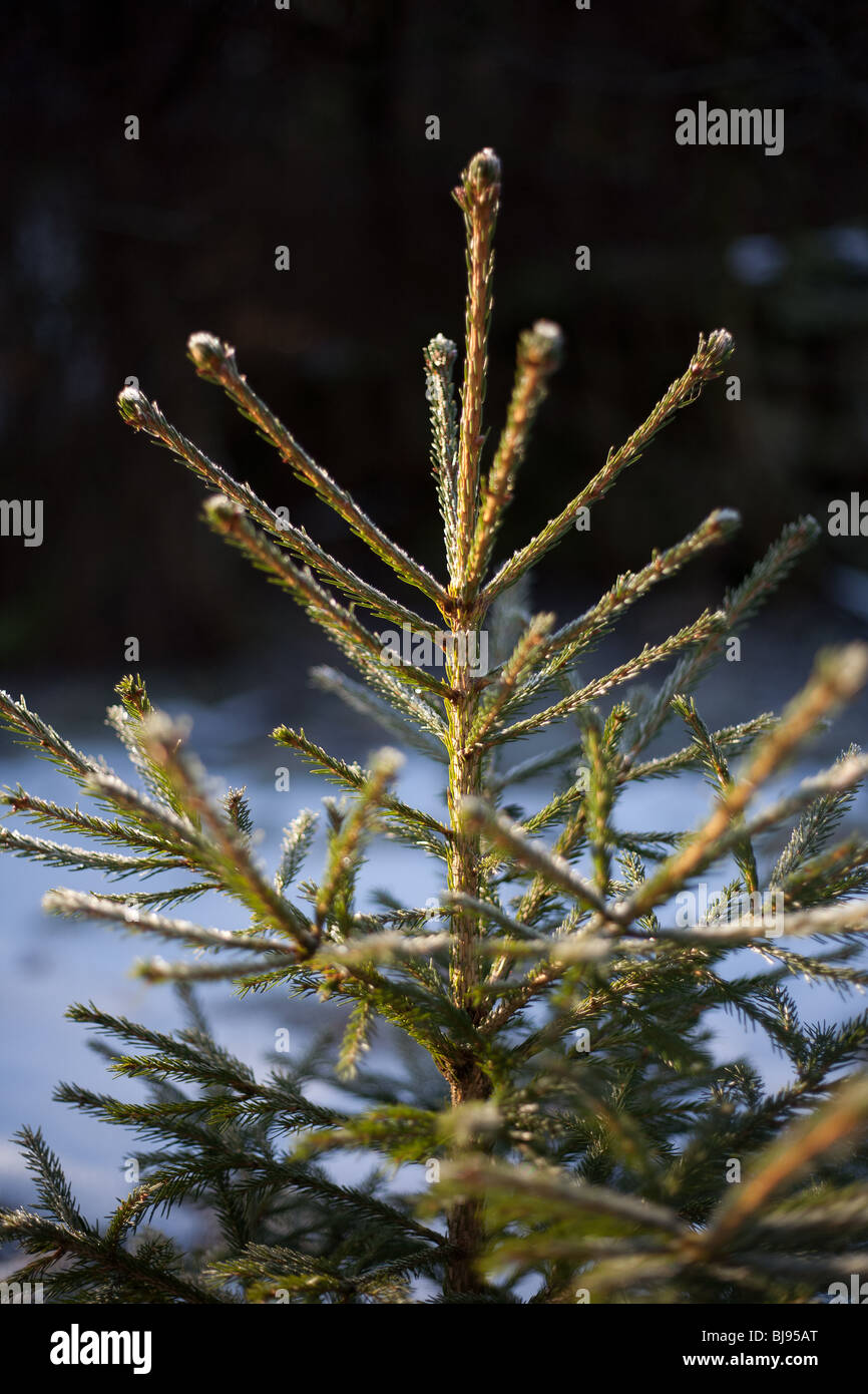 Close up of the top part of a young fir tree with snow in background - Stock Image