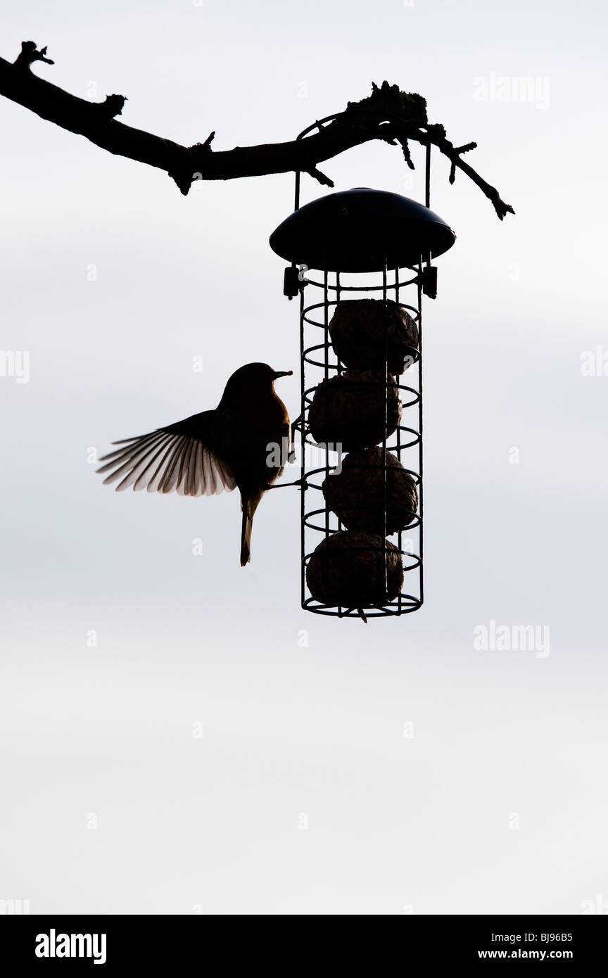 silhouette of robin on a fat ball feeder hanging from a tree in a