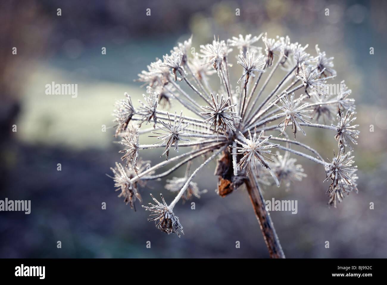 Allium hollandicum - frosted seedhead UK - Stock Image