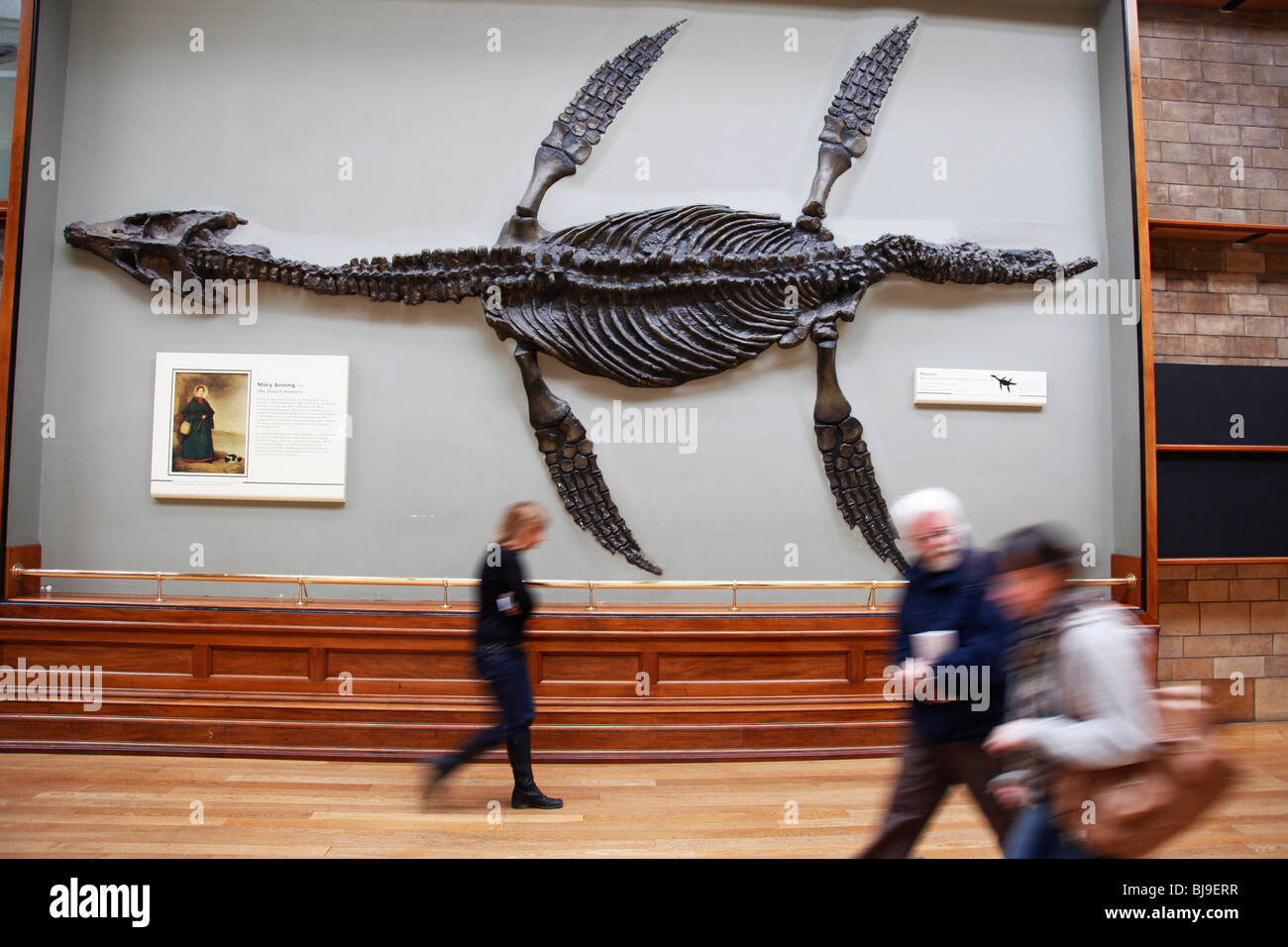 The Natural History Museum, London. Giant fossil of a Pliosaur adorns the wall. - Stock Image