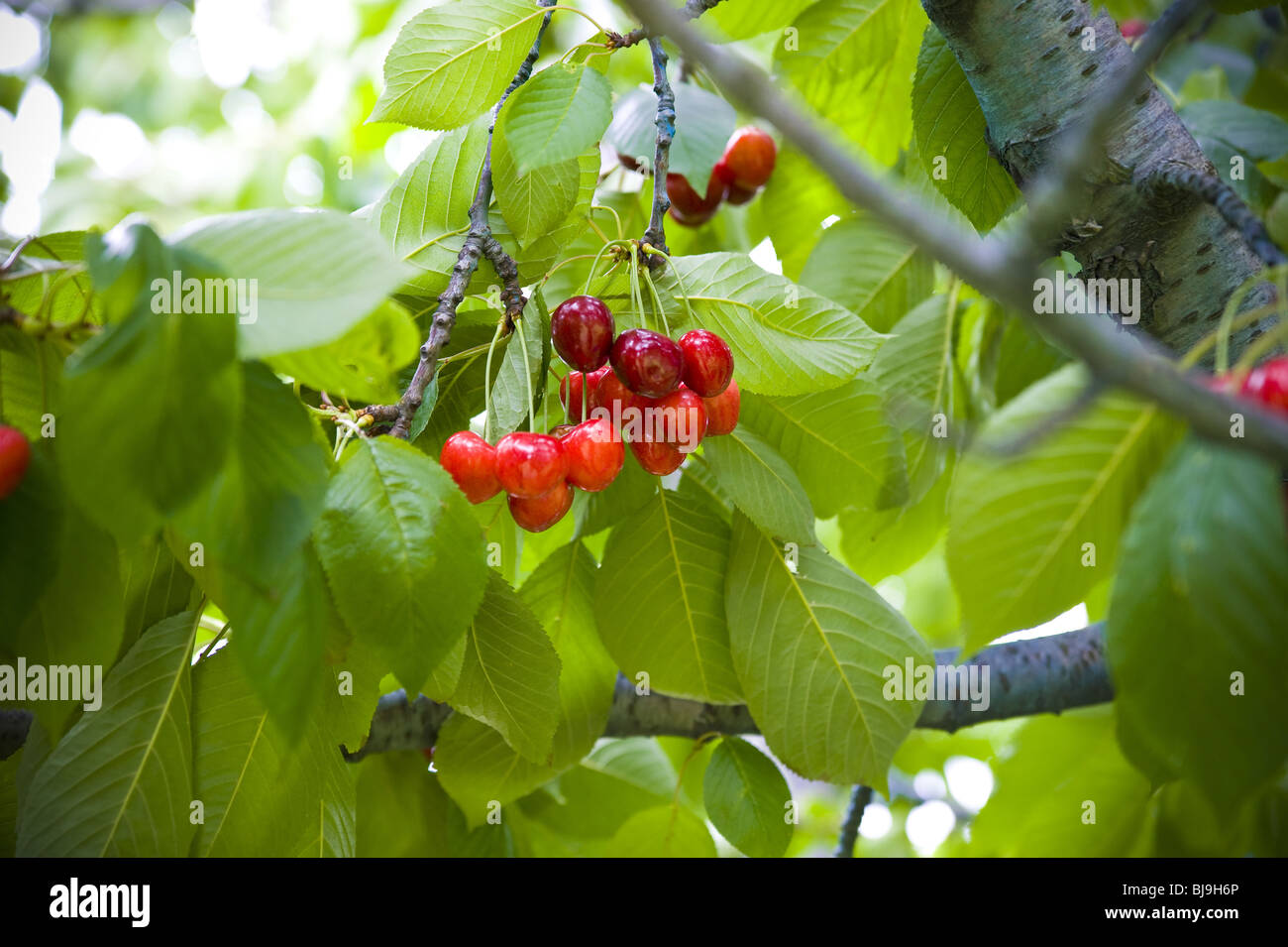 Chierries on a tree - Stock Image