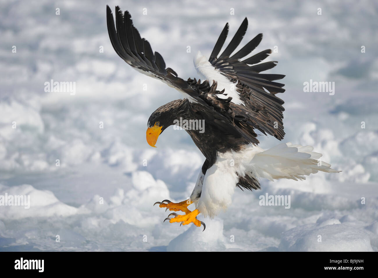 Eagle Wings Stock Photos & Eagle Wings Stock Images - Alamy