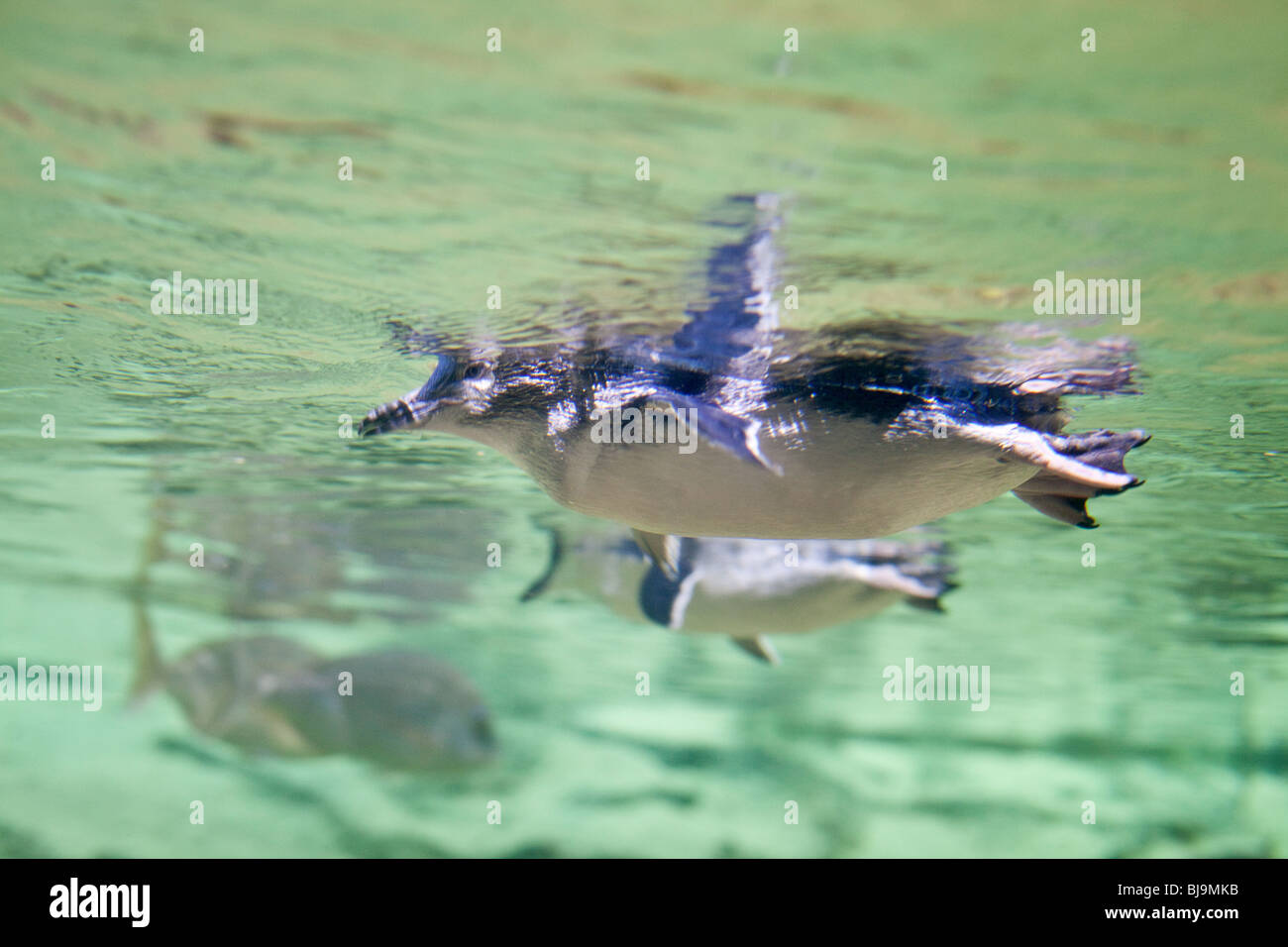 Swimming Penguins seen from underwater, Sydney, Australia - Stock Image