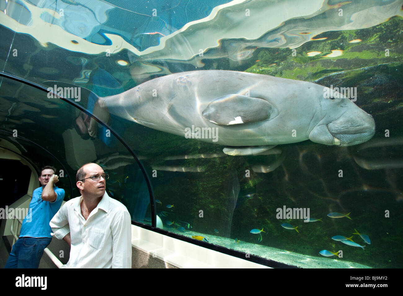 Tourists watching Dugong in Sydney Aquarium, Australia - Stock Image
