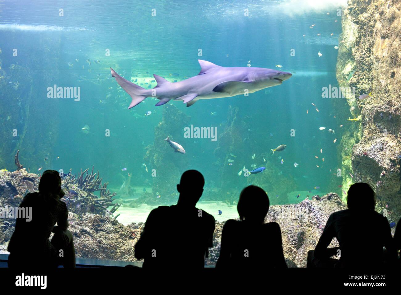 Tourists watching sharks in Sydney Aquarium, Australia - Stock Image