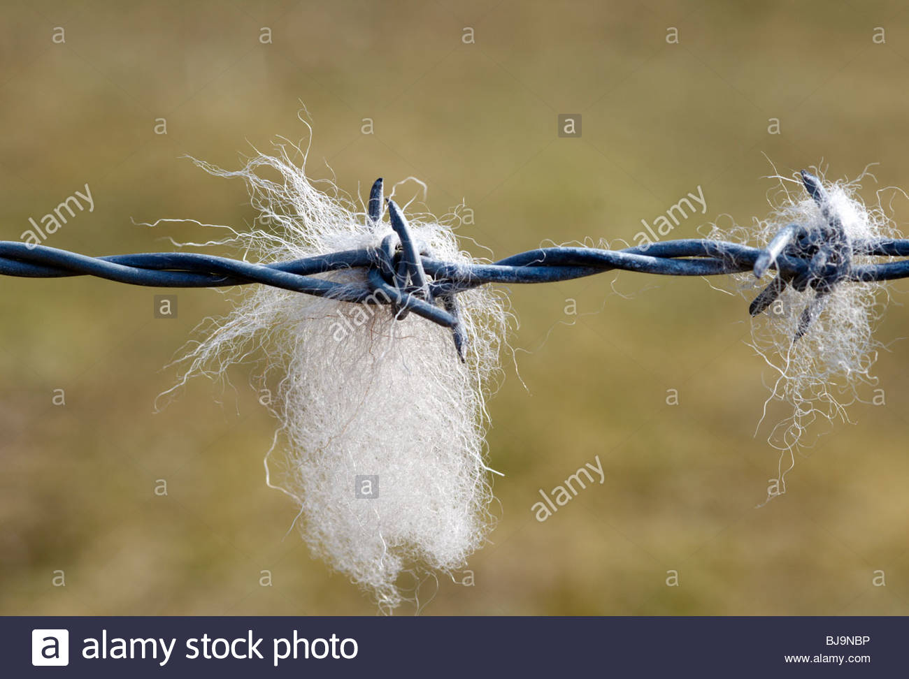 tufts of sheep's wool snagged on a metal barbed wire fence - Stock Image