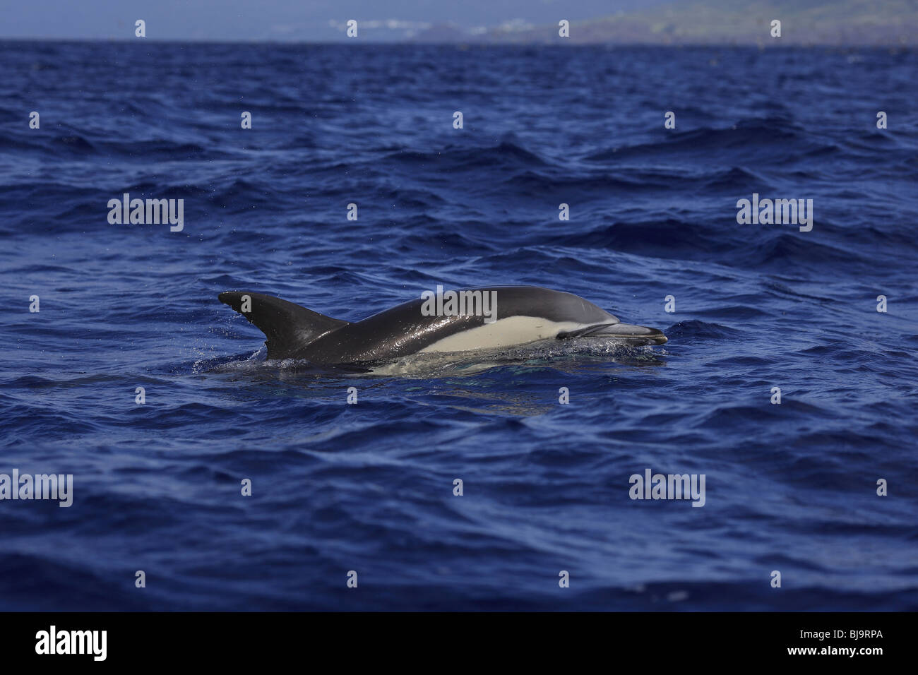 A common dolphin (delphinus delphis) takes a breath off Pico Island, Azores, Portugal. Picture taken on a whale - Stock Image
