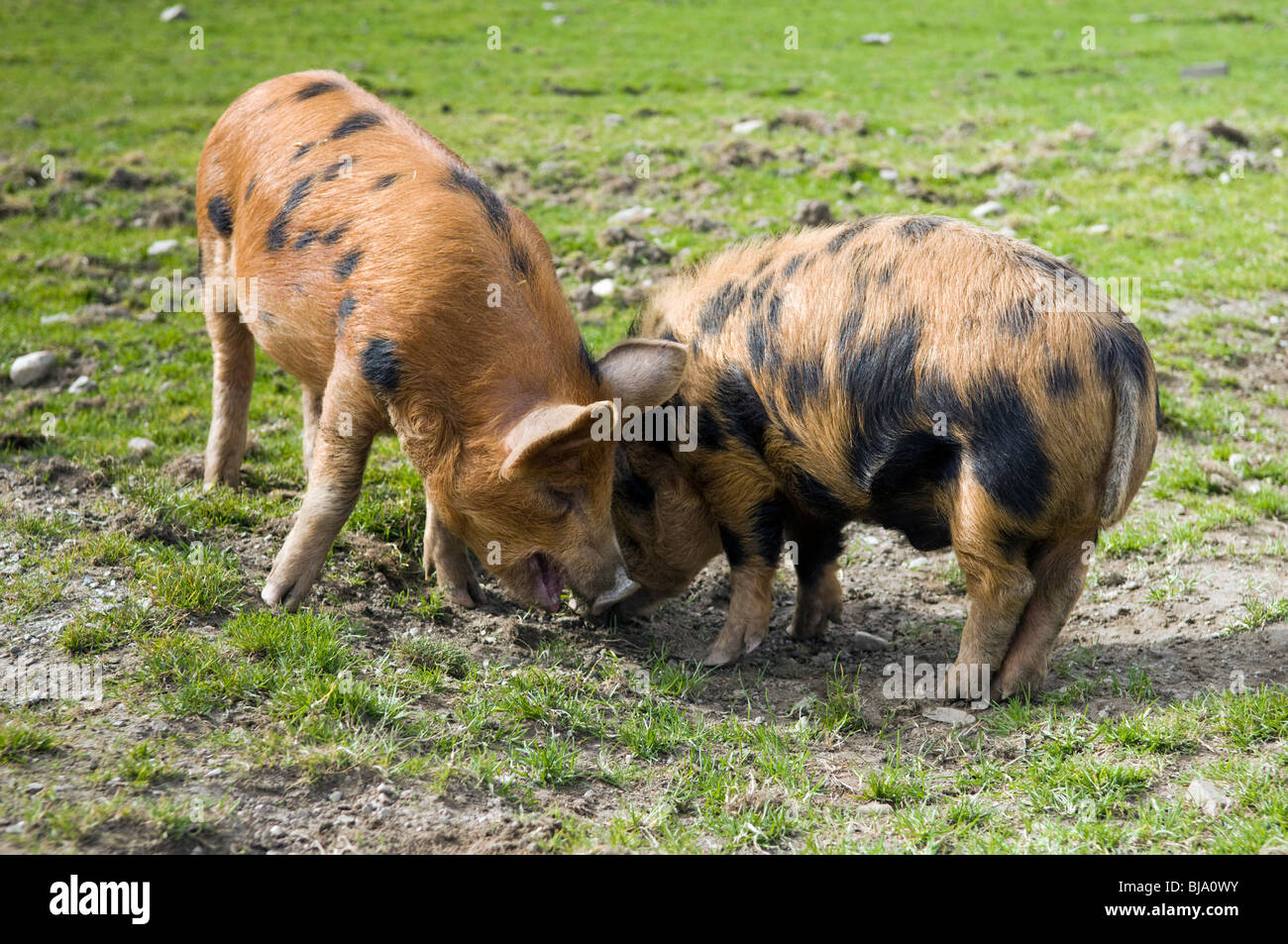 Spotted Kune kune and wild boar cross free range pigs grazing in field - Stock Image