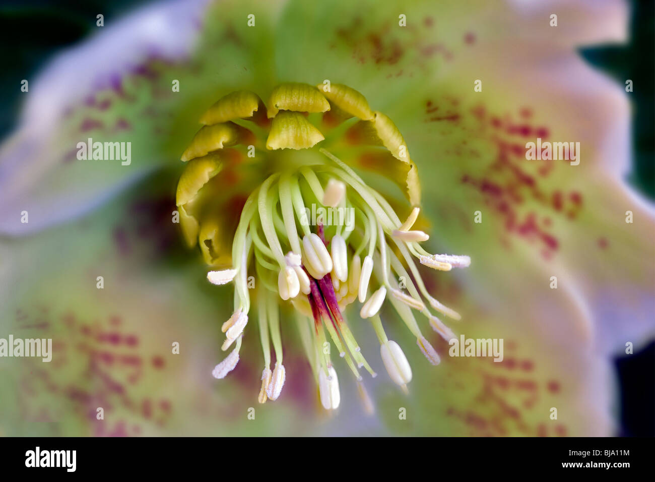 Close up of White Lady Spotted Hellebore - Stock Image