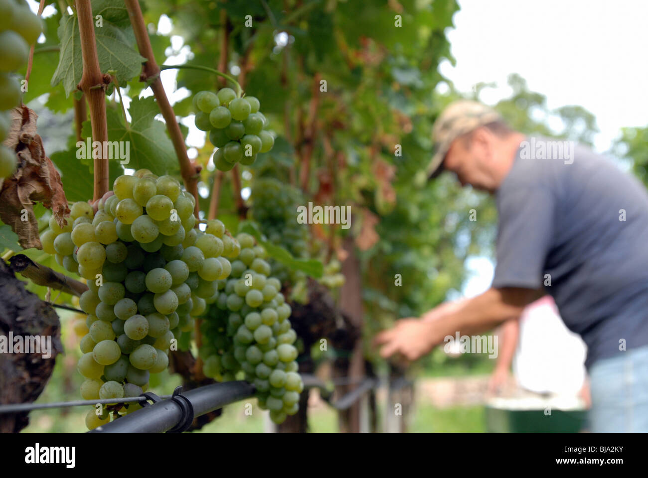 Grape harvest, Merano, Italy - Stock Image