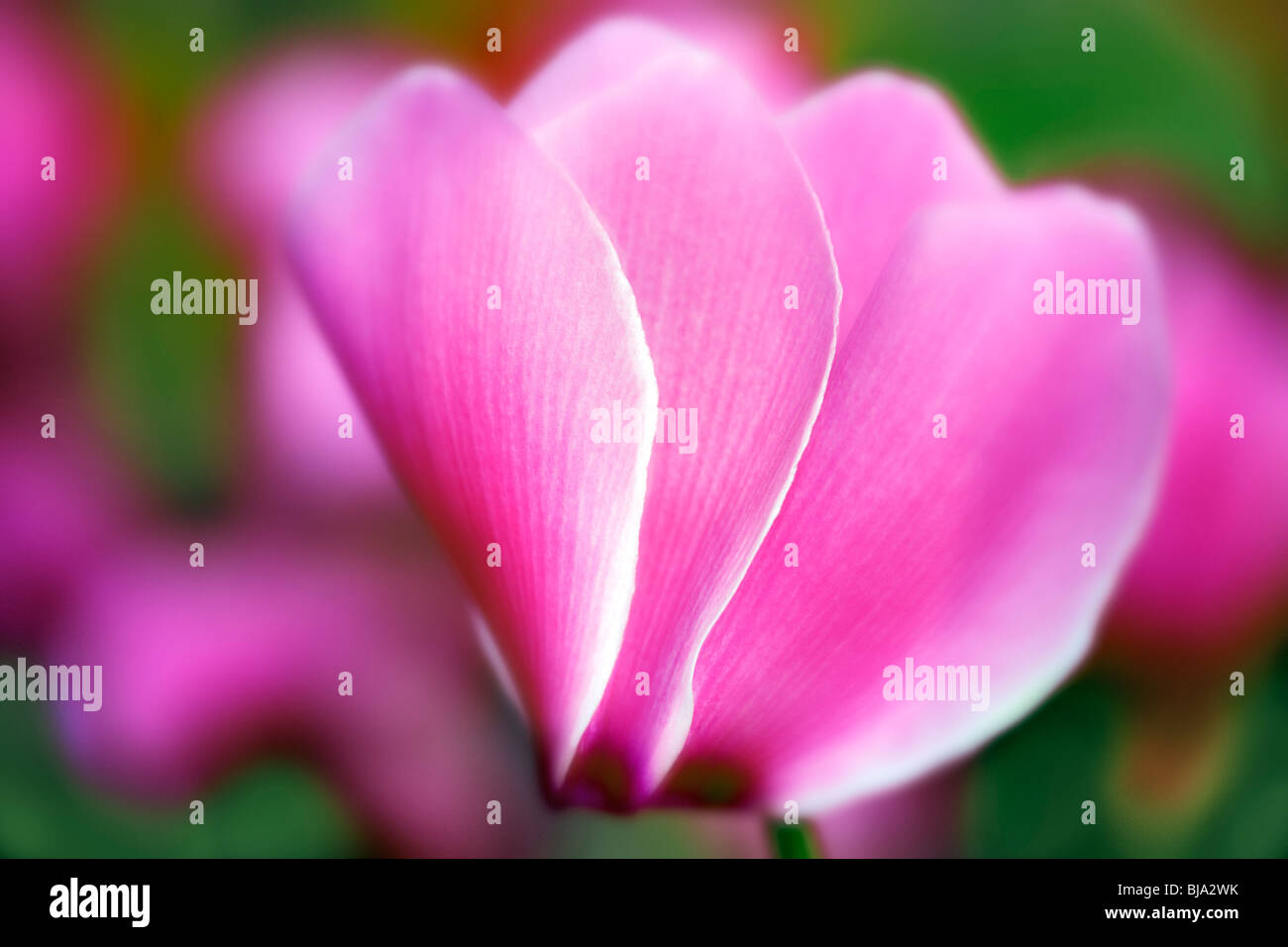 Close up of cyclamen. - Stock Image
